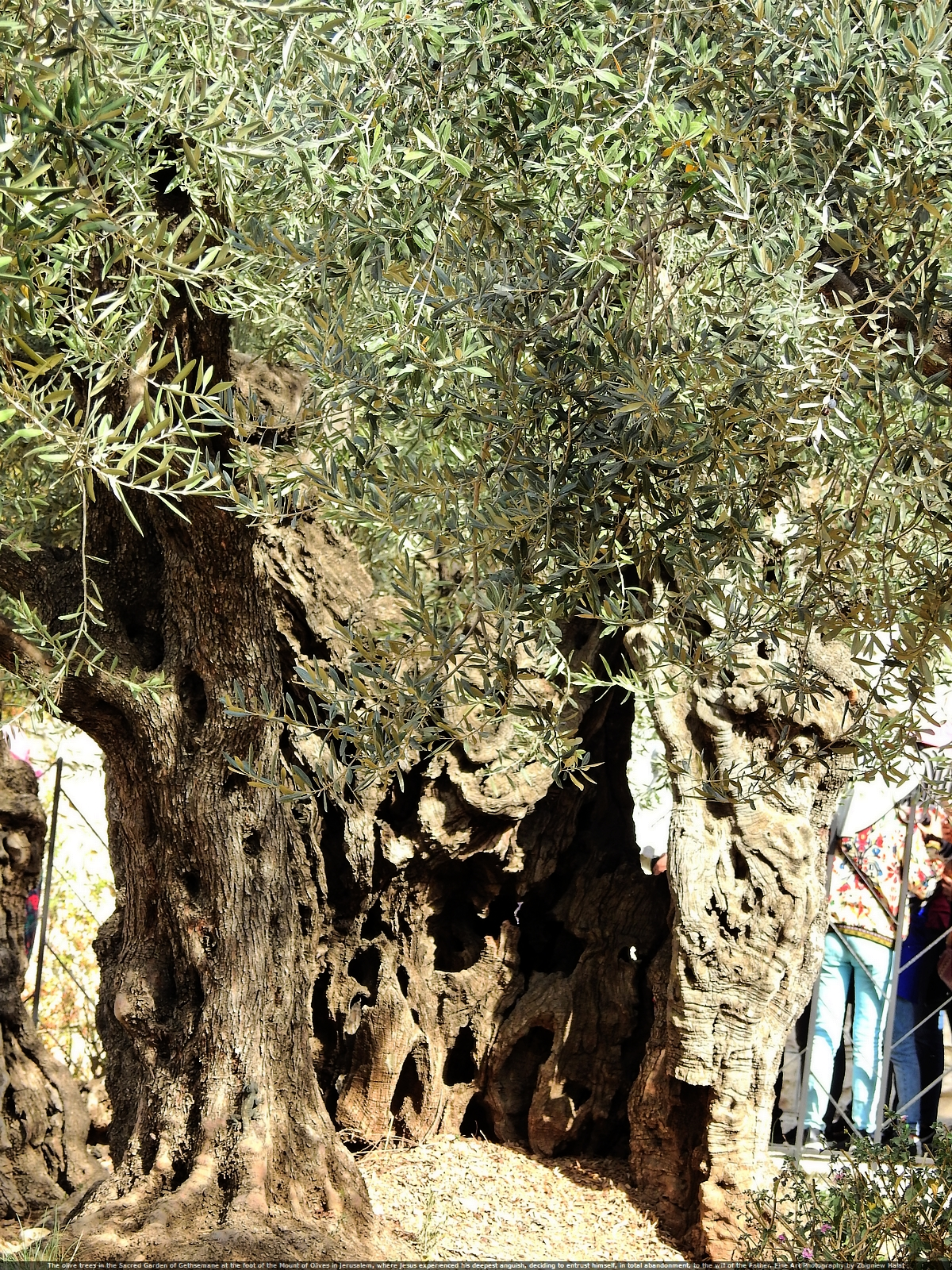 The olive trees in the Sacred Garden of Gethsemane at the foot of the Mount of Olives in Jerusalem, where Jesus experienced his deepest anguish, deciding to entrust himself, in total abandonment, to the will of the Father. Fine Art Photography by Zbigniew Halat